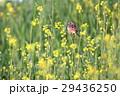 ホオアカとセイヨウカラシナ 29436250