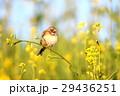 ホオアカとセイヨウカラシナ 29436251