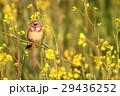 鳥 小鳥 頬赤の写真 29436252