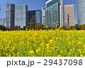 浜離宮恩賜庭園 菜の花 花畑の写真 29437098
