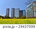浜離宮恩賜庭園 菜の花 花畑の写真 29437099