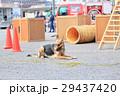 防災の日 デモンストレーション 訓練 救助犬 29437420