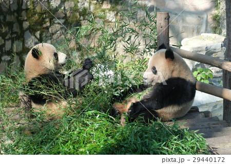 上海動物園で食事中のパンダ 2 29440172