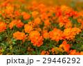 キバナコスモス コスモス オレンジ色の写真 29446292