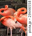 フラミンゴ 水鳥 鳥類の写真 29446558
