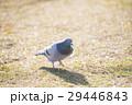 鳩 ハト はとの写真 29446843
