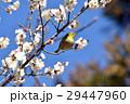 東京都三鷹市の野鳥 仙川に隣接する公園のハクバイとメジロ 29447960