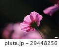 花 コスモスの花 センセーションの写真 29448256