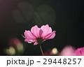 花 コスモスの花 センセーションの写真 29448257