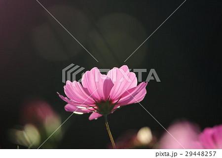 コスモス (センセーション) その54。 Cosmos flower 29448257