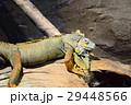 イグアナ グリーンイグアナ 爬虫類の写真 29448566