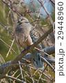 ハト キジバト 鳩の写真 29448960