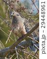 ハト キジバト 鳩の写真 29448961
