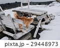 アイスランド 猫 ねこ 29448973