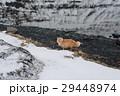 アイスランド 猫 ねこ 29448974