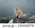 アイスランド 猫 ねこ 29448976
