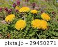 タンポポ 蒲公英 花の写真 29450271