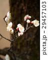 梅の花 29457103