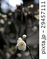 梅の花 29457111