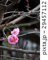 梅の花 29457112