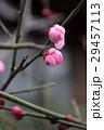 梅の花 29457113