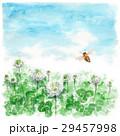 クローバー 白詰草 花のイラスト 29457998