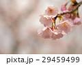 桜 さくら 早春の写真 29459499