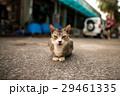 猫写真 石垣島にいたかわいいけど怒っている?野生のネコ 29461335