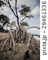 西表島のマングローブ 南国独特の海岸に生えたヒルギ 29461336