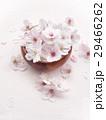 桜の花 29466262
