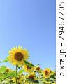 向日葵 花畑 夏の写真 29467205