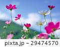 ホワイト フラワー 花の写真 29474570