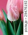 チューリップの花 29476192