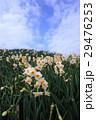水仙の花 29476253