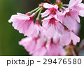桜の花 29476580