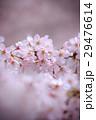 桜 さくら 花の写真 29476614