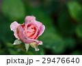 薔薇の花 29476640