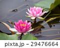 睡蓮 すいれん 花の写真 29476664