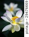 蓮の花 29476669