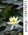 蓮の花 29476671