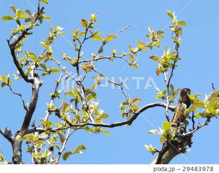 黄緑色の若葉が育つカリンの木 29483978