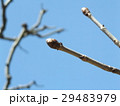 初夏に穂状の桃色の花を咲かすベニバナトチノキの蕾 29483979