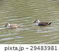 泉自然公園の一番奥の池を泳ぐカルガモ 29483981