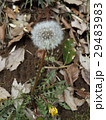 泉自然公園の白い球体はタンポポの種 29483983