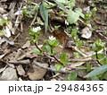 可愛い小さいハコベの白い花 29484365