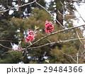 ハナモモの綺麗なピンクの花 29484366
