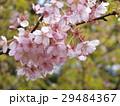 満開になったカワヅザクラ 29484367