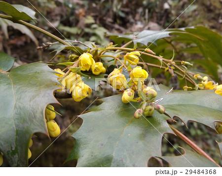 小さい黄色い花はヒイラギナンテンの花 29484368