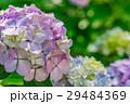 【神奈川県】あじさい 29484369