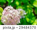 【神奈川県】あじさい 29484370